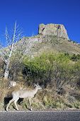 Deer in Big Bend National Park Texas. poster