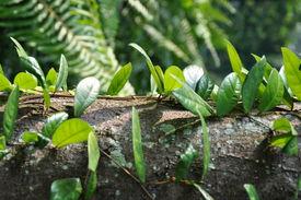 vines leaf