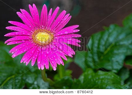 HDR Wet Pink Daisy 2