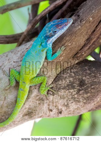 Cuban Knight Anole Or Cuban Chameleon