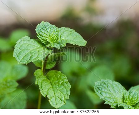 Mint Leaves.
