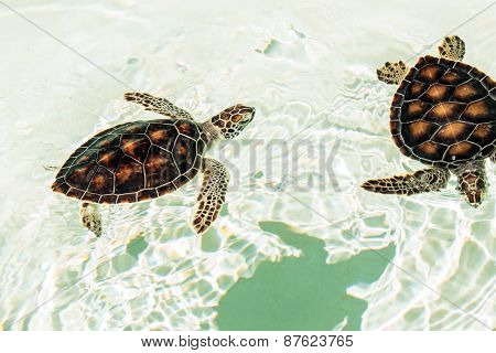 Cute endangered baby turtles swimming in crystal clear water poster