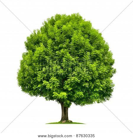 Perfect Ash Tree Isolated On White