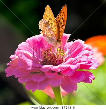 Orange Argynnis Paphia butterfly is sucking nectar from a pink Zinnia flower. Very good focus on the eyes and the proboscis of the butterfly. Also known as Silver Washed Fritillary. Jpeg file with the clipping path of the butterfly and the flower. poster
