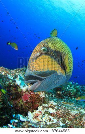 Titan Tiggerfish