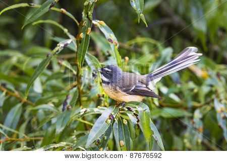 New Zealand Fantail (rhipidura Fuliginosa)