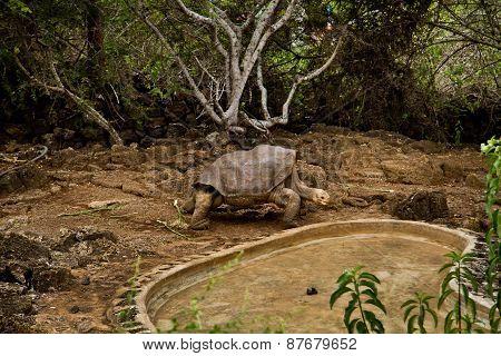 Giant tortoise, Geochelone elephantopus, at Charles Darwin Research Station on Santa Cruz, Galapagos