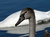head of gray swan swimming on lake poster
