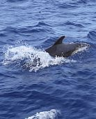 pilot whale free in open blue ocean poster
