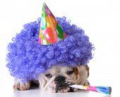 birthday dog - bulldog wearing clown wig and birthday hat on white background poster