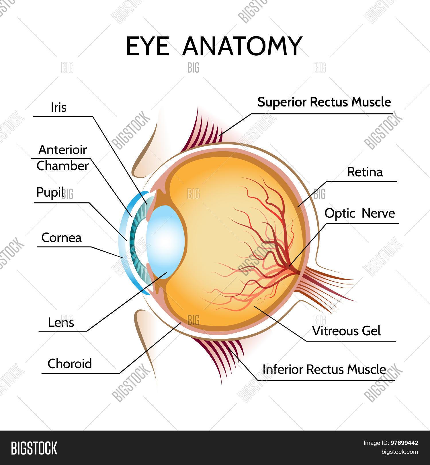 Eye Anatomy Vector & Photo (Free Trial)   Bigstock