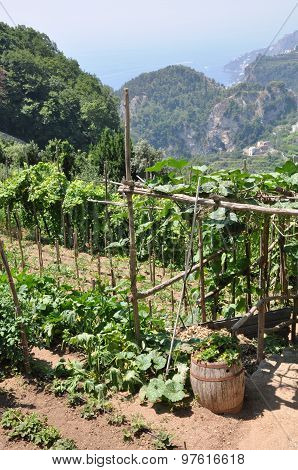Vineyards Ravello hills, Amalfi Coast, Italy