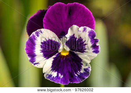 Heartsease, Viola Tricolor, Vibrant Photo With Shallow Depth Of Field