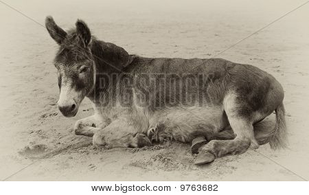 vintage sepia toned image of a very old donkey lying in the sand poster