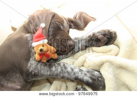 German shorthaired pointer puppy 10 weeks old. Sleeping with a christmas bear