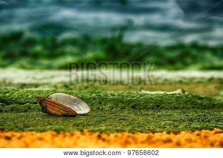 Open Shell Mussels Oyster Is On A Sandy Shore Covered With Green Algae On Sea