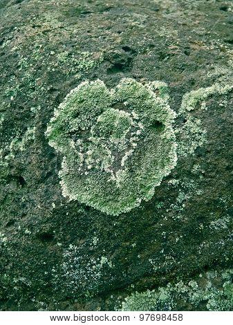 Foliose lichen squamulose