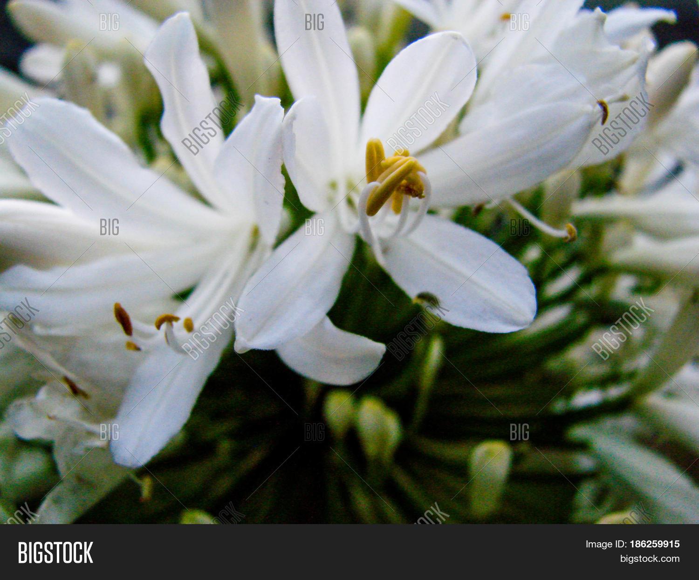 Las Flores Blancas Mas Image Photo Free Trial Bigstock