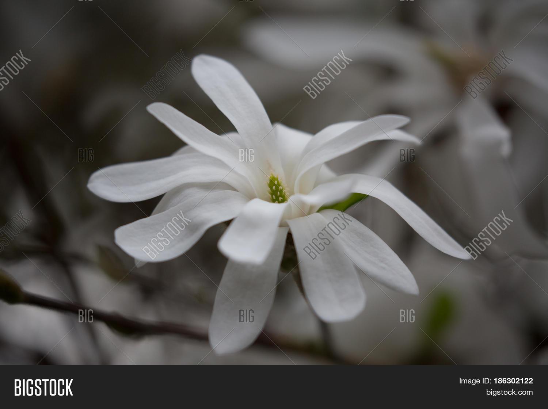 Close Single Magnolia Image Photo Free Trial Bigstock