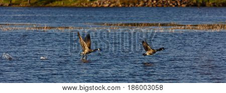 Panoramic image of two canada geese (branta canadensis) flying over a lake