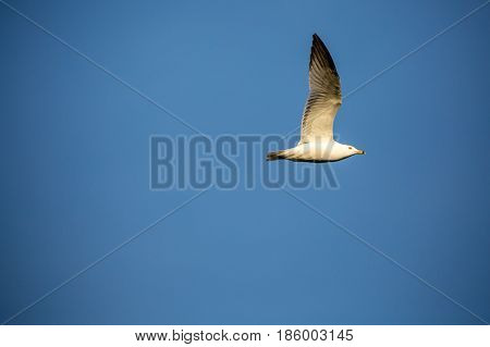 Ring-billed gull (Larus delawarensis) flying with copy space of a blue sky