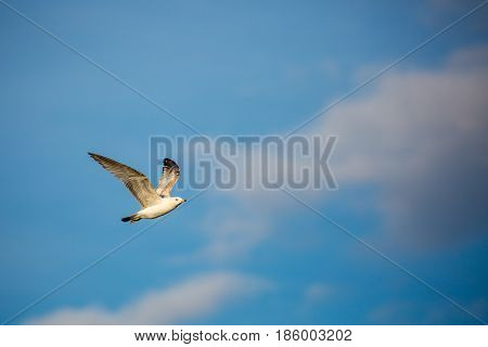 Ring-billed gull (Larus delawarensis) flying in front of a blue sky and white cloud with copy space