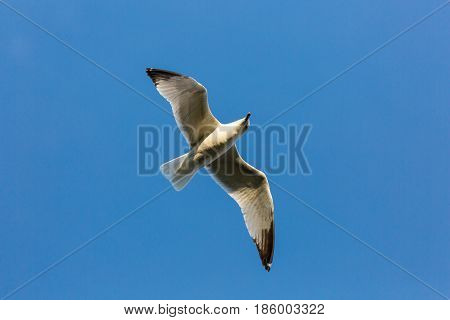 Ring-billed gull (Larus delawarensis) soaring in a blue sky directly above