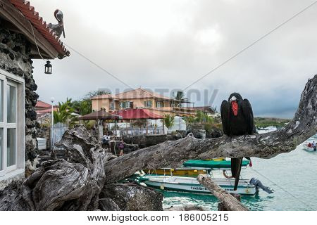 Frigate Bird Sits On A Branch On The Background Of The Academic Bay In Puerto Ayora. Santa Cruz, Gal