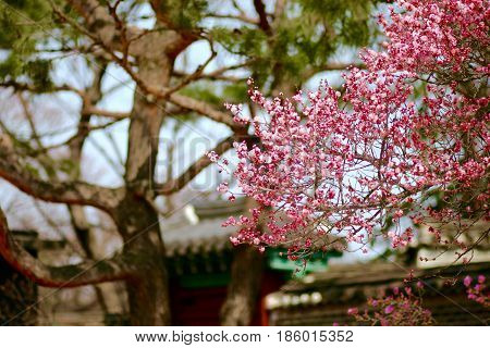 Scenery Plum tree  afternoon photo  Gyeongbokgung place