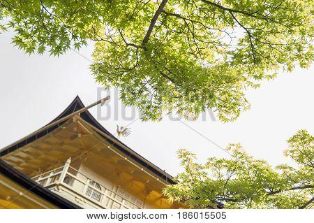 Green Foliage From Maple Tree In Spring Season At Kinkaku-ji, The Golden Pavilion, Located At Rokuon