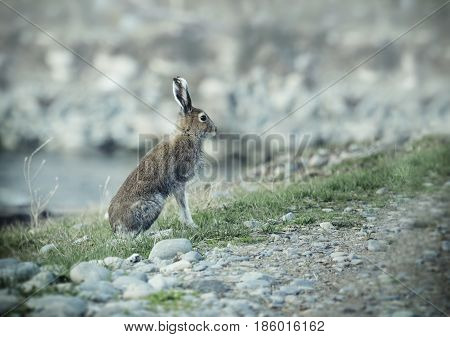 Wild hare sitting on a coast of river Leporidae Altai