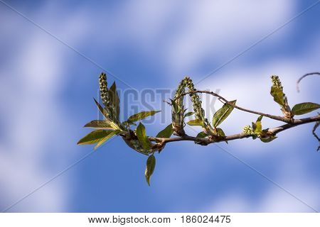 Young spring green leaves on faded background with copy space. Branches of a bird cherry tree with fresh new leaves in the spring. The first spring gentle leaves, buds and branches macro background.