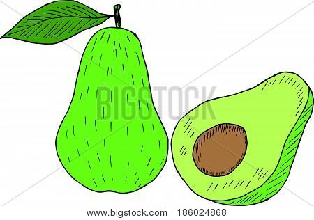 Hand drawn ink avocado isolated on white background. Fruits sketch elements in color.