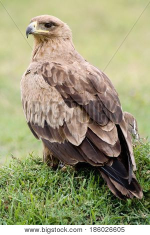 A tawny eagle (Aquila rapax rapax) resting on the ground. Ol Pejeta Conservancy Kenya.
