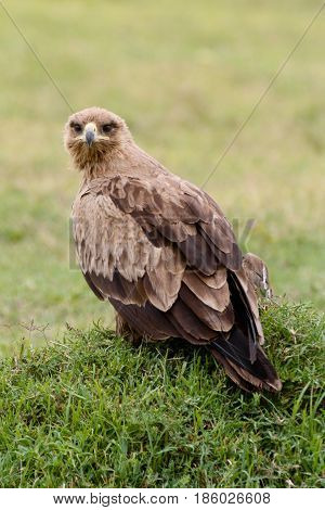 A tawny eagle (Aquila rapax rapax) resting on the ground looking at the camera. Ol Pejeta Conservancy Kenya.