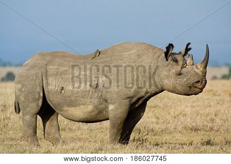 A black rhinoceros (Diceros bicornis) stands on the savannah with red-billed oxpeckers (Buphagus erythrorhynchus). Ol Pejeta Conservancy Kenya.