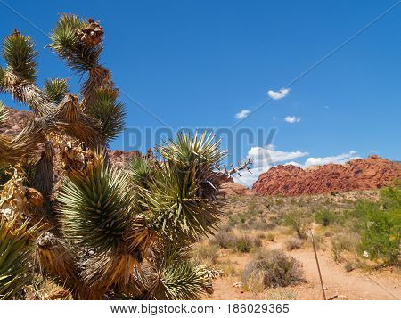 Spiky leaves of joshua tree and famous striped hills in distance under slear blue sky surrounding Red Rock Canyon