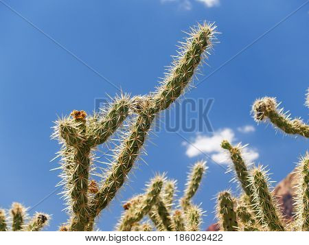 Prickly stag horn cactus branch against blue sky.