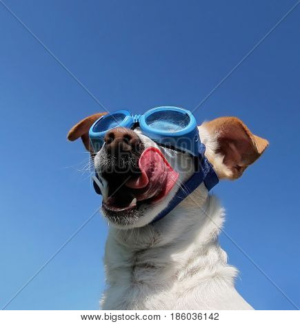 a cute chihuahua jack russel terrier mix wearing goggles and playing outside during summer time