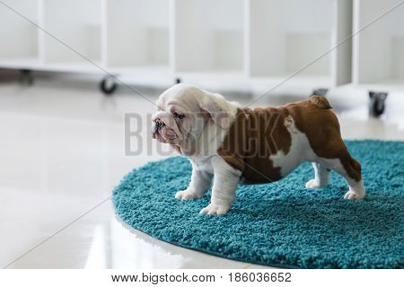 English bulldog puppy sitting on carpet at home