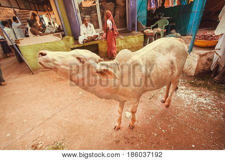 BADAMI, INDIA - FEB 8, 2017: White cow mooing in the village market on February 8, 2017. Population of Karnataka state is 62000000 people