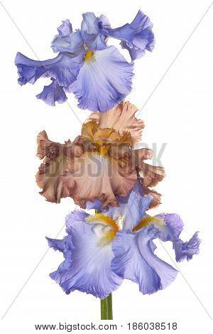 Iris Flowers Isolated