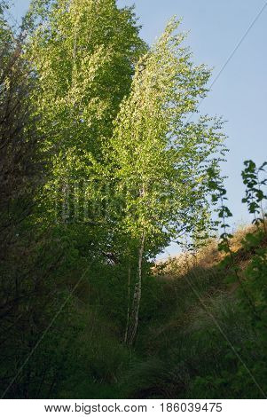 A young birch in a ravine in the spring.