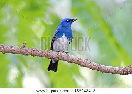 Zappey's Flycatcher Cyanoptila Cumatilis Male Cute Birds Of Thailand