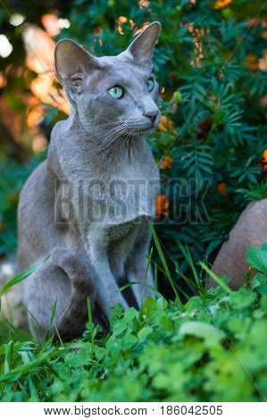 Portrait Of Shorthair Gray Cat Of Oriental Breed 2 Years Old Walk In Park.