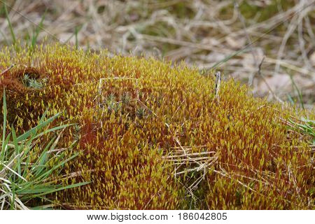 Living In A World Of Mosses As Tortula Wall Closeup