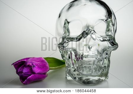 Glass empty transparent head with purple flower skull and violet tulip