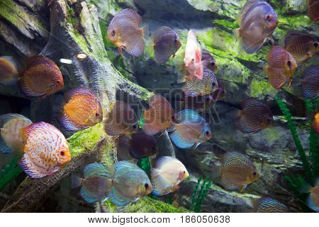 school of beautiful discus fishes floating in water