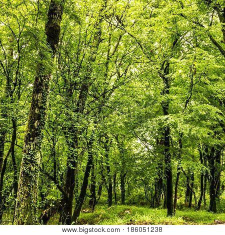 Green forest summer background Montenegro near monastery Ostrog.