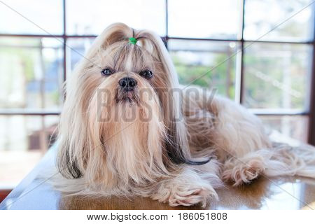 Shih tzu dog lying on table in luxury interior with big windows